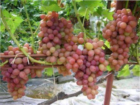 Ранні сорти винограду - термін дозрівання, правила вирощування