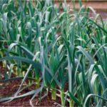 Цибуля – порей - особливості вирощування у відкритому грунті