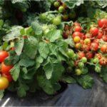 Низькорослі сорти томатів для відкритого грунту: огляд сортів з описом та фото