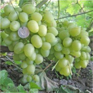 Виноград Восторг мускатний