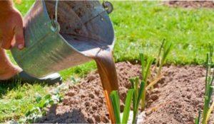 Вибір ґрунту для посадки цибулі порей