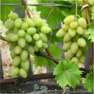 Виноград Олена