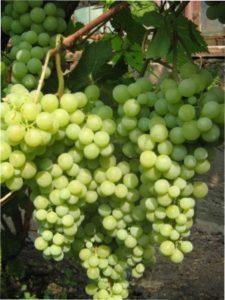 Виноград Перли Саба