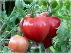 Характеристика сорту томатів «Абаканский рожевий»