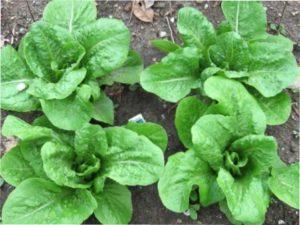 Особливості догляду за салатом ромен
