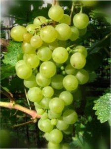 Вирощування Винограду Перли Саба в Україні
