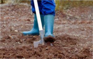Покрокова інструкція з висадження саджанців ожини