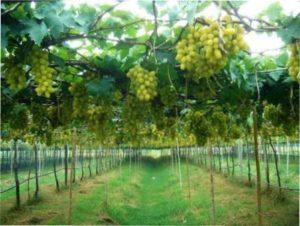 Догляд за Виноградом Перли Саба