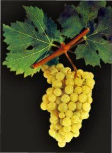 Виноград Золотистий ранній