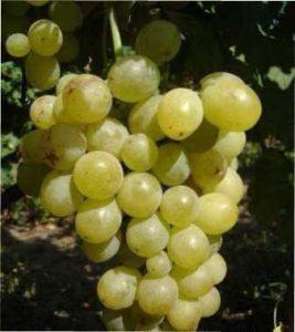 Вирощування Винограду Золотистий ранній