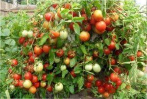 Сорт томатів «Талісман» для вирощування в Україні