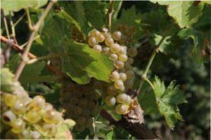 Найпоширеніші сорти раннього винограду