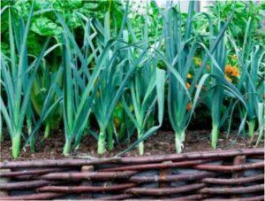 Цибуля-порей - короткий опис вирощування