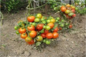 Загальна інформація про низькорослі сорти томатів