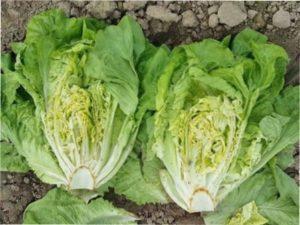 Коротко про корисні властивості салату ромен