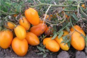 Сорт помідорів «Ельдорадо»