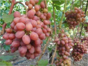 Вирощування сорту винограду Гурман в Україні