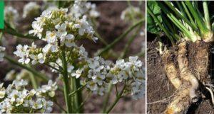 Катран: вирощування з насіння