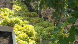 Ранні сорти винограду