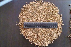 Стратифікація насіння Катрана в домашніх умовах