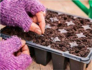 Вирощування цибулі-порею з насіння
