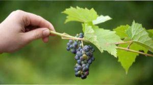 Самі ранні сорти винограду