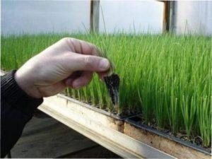 Способи вирощування цибулі
