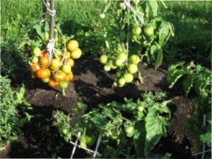 Переваги сорту помідорів «Боні М»