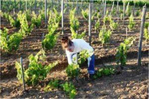 Найкращі сорти для вирощування винограду в Україні