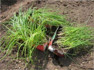 Цибуля-порей - вирощування розсади