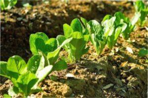 Тонкощі вирощування розсади салату ромен