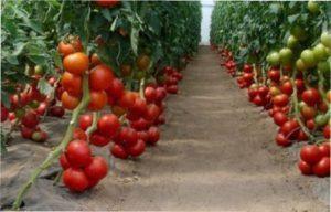 «Бобкат» найкращий сорт низькорослих томатів