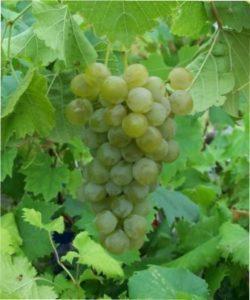 Виноград Серпневий
