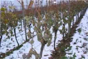 Вирощуванння винограду Серпневий в Україні