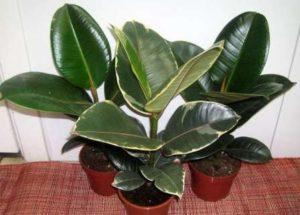 Кімнатні рослини: Фото та Назви, Каталог.