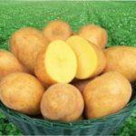 Що представляє собою сорт картоплі Адретта