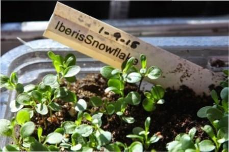 Вирощування розсади Іберіс та цвітіння чарівної і ароматної рослини
