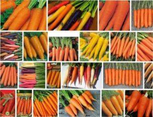 Як вибрати насіння моркви для відкритого грунту