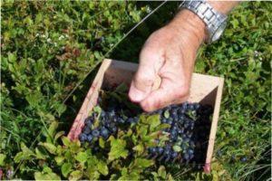 Вирощування чорниці в саду: вибираємо сорт
