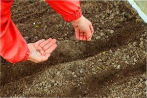 Що садити після часнику на наступний рік