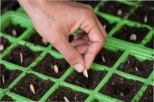Посадка насіння на розсаду