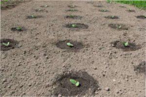 Посадка насіння безпосередньо в грунт