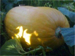 Сорт гарбуза - Великий макс