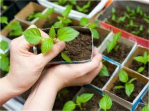 Умови для вирощування перців