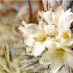 Що робити, якщо обіцяють заморозки, а дерева і кущі вже щосили цвітуть