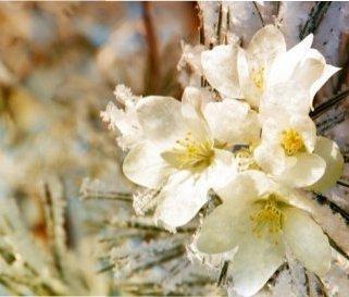 Ситуація: що робити, якщо обіцяють заморозки, а дерева і кущі вже щосили цвітуть