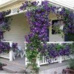 Які в'юнкі рослини посадити біля альтанки на дачі