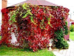 Дівочий виноград фото