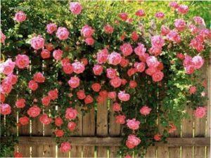 Плетиста троянда
