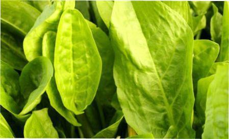 Технологія вирощування та посадка щавлю з насіння у відкритий грунт